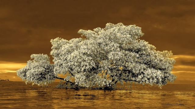 Carlos Coco . Infrared Snowed Mangrove, 2014
